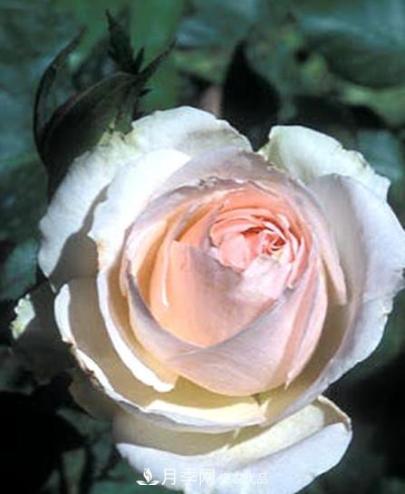 10个最香的月季品种图片