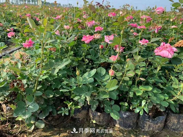 盆栽月季选花经验窍门-盆栽月季如何选苗