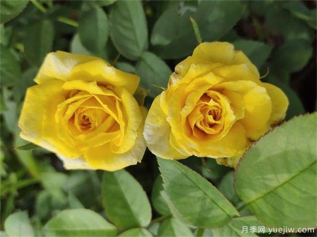 黄从容月季/黄丛蓉月季(图1)