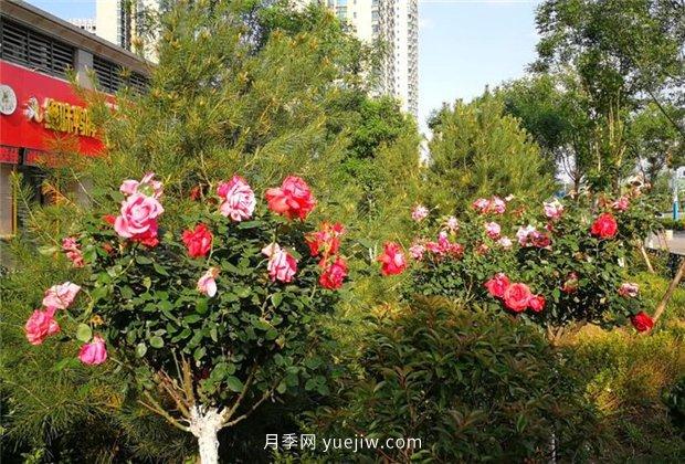 济南月季景观当属唐冶街道月季树