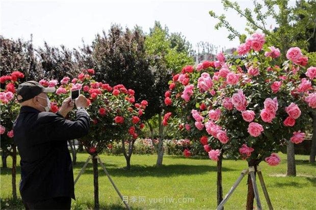 1-10公分月季树价格是多少?树状月季5月报价单!