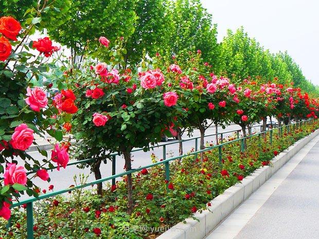 月季网数据:中国73个月季(玫瑰)市花城市名单大全(图4)