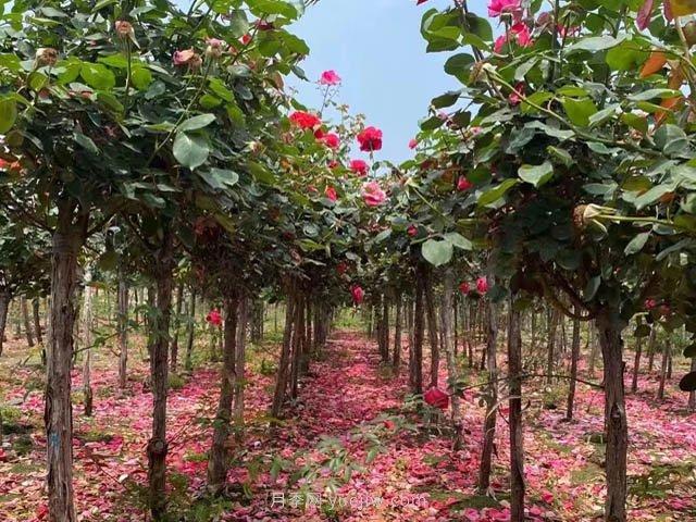 南阳市卧龙区月季产业,一个乡村振兴的美丽产业样本(图3)