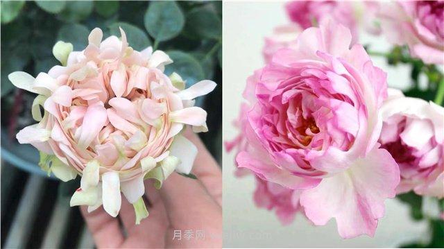 蝶之舞月季,苏芬月季,两款花型独特的日系月季