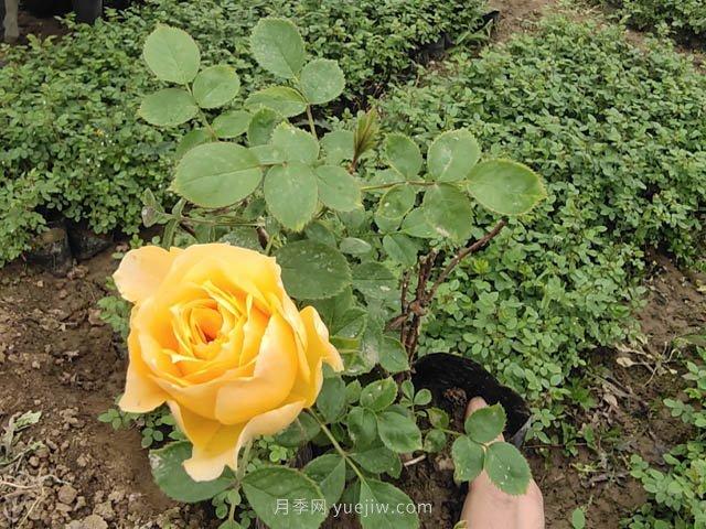 黄从容月季/黄丛蓉月季(图2)