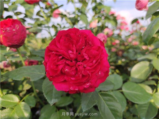 红龙月季/红色龙沙宝石月季(图2)