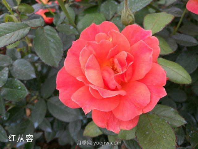 红从容月季/红丛蓉月季(图2)