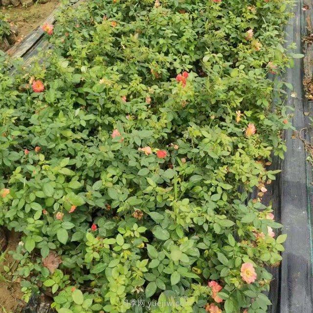 五千盆红从容营养钵月季苗发往郑州