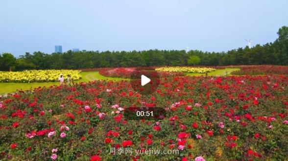 山东威海经区月季花开香满城