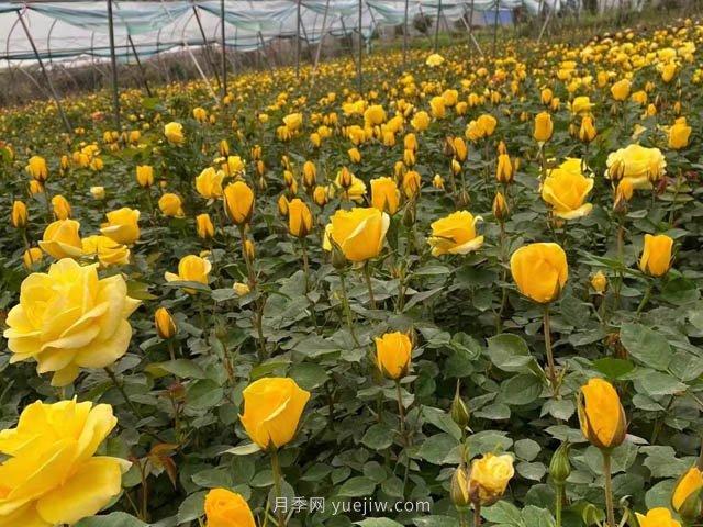 金凤凰,绿化工程选择黄色大花月季